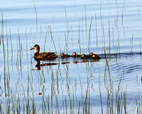 DUCK AND BABIES IN REEDS